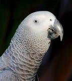 Grey Parrot Royalty Free Stock Photo