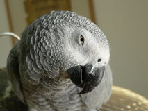 Grey Parrot. A grey parrot standing on his cage Stock Image