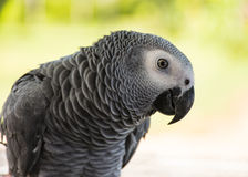 Grey Parrot or African grey parrot. The grey parrot is a medium-sized, predominantly grey, black-billed parrot. Their average weight is 400 grams , with an Royalty Free Stock Photos