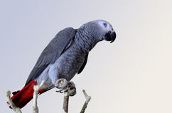 Grey parrot Stock Images