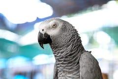 Grey Parrot africano (erithacus del Psittacus) Fotos de archivo