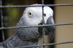 Grey Parrot in cage. Grey Parrot sitting in the cage and tell to us: help me to be free Stock Images