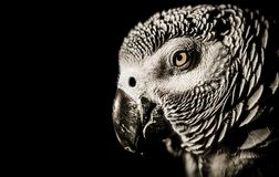 African grey parrot portrait with black background stock photography
