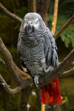 Grey parrot Royalty Free Stock Images