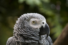 Grey parrot Royalty Free Stock Photo