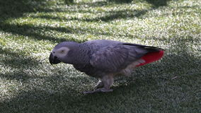 Grey parrot does forward roll stock video footage