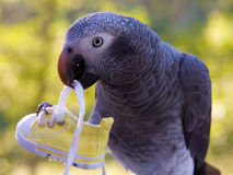 Grey Parrot Holding Shoe Stock Photos