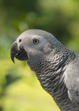 Grey Parrot ou perroquet de gris africain Photo libre de droits