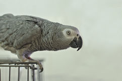 Grey Parrot out of the jail Royalty Free Stock Photography