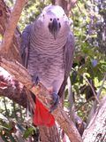 Congo African Grey Parrot. Perched in tree Stock Photography