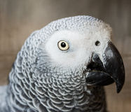Grey parrot. Portrait of a beautiful Grey parrot Royalty Free Stock Photography