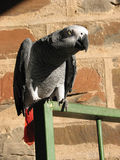 Grey parrot with red tail feathers Stock Photography