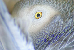 Grey parrot staring at the camera Stock Photos