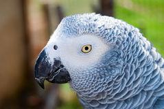 Grey parrot staring at the camera Royalty Free Stock Image