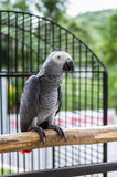 Grey parrot on wood branch Royalty Free Stock Image