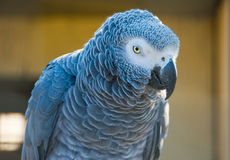 Grey parrot of Zhako (Psittacus erithacus). In zoo Stock Photography