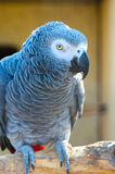 Grey parrot of Zhako (Psittacus erithacus) Royalty Free Stock Photos