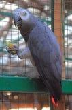 Grey parrot in zoo of Gelendzhik Royalty Free Stock Image
