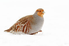 Grey Partridge Royalty Free Stock Images
