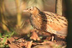 Grey partridge Stock Photography