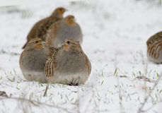 Grey partridge Stock Images