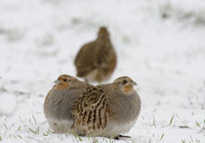 Grey partridge Stock Photo