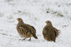 Grey partridge Royalty Free Stock Photo