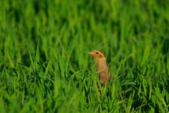 Grey Partridge Royalty Free Stock Photos
