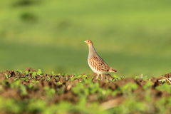 Grey partridge on agricultural field Stock Image