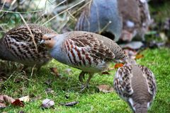 Grey partridge at the bavarian forest Stock Photos
