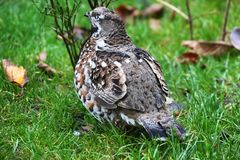Grey partridge at the bavarian forest Royalty Free Stock Image
