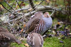 Grey partridge at the bavarian forest Stock Photography