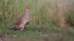 Grey partridge on the edge of the field