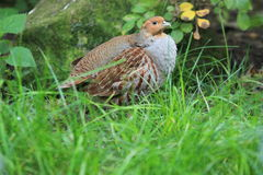 Grey partridge. In the grass Stock Photo