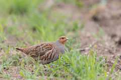 Grey Partridge Stock Photos