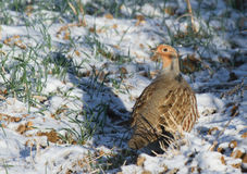 Grey partridge. On ground covered snow Royalty Free Stock Photography