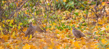 Grey Partridge group Royalty Free Stock Images