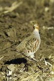 Grey partridge in natural habitat / Perdix perdix Stock Image
