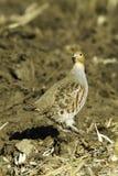 Grey partridge in natural habitat / Perdix perdix Stock Image