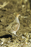 Grey partridge in natural habitat / Perdix perdix. A male of grey partridge in natural habitat / Perdix perdix Royalty Free Stock Photography