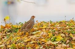 Grey Partridge no outono Imagem de Stock