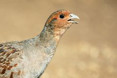 Grey Partridge partridge in a beautiful light. Close Up. Royalty Free Stock Photography