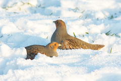 The Grey Partridge (Perdix perdix) Royalty Free Stock Images