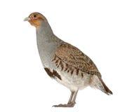 Grey Partridge, Perdix perdix stock photography