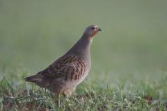 Grey partridge, Perdix perdix Stock Photo