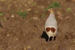 Grey partridge, Perdix perdix Royalty Free Stock Image