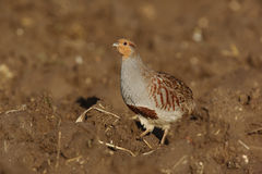 Grey partridge, Perdix perdix Royalty Free Stock Photos