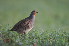 Grey partridge, Perdix perdix Royalty Free Stock Photography