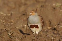 Grey partridge, Perdix perdix Royalty Free Stock Photography