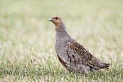Grey partridge, Perdix perdix Royalty Free Stock Photos